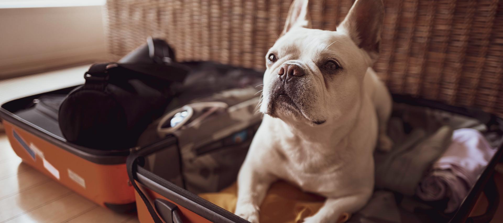 White Pug dog sitting inside suitcase looking.